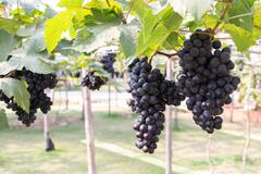 grapes fruit in farm viticulture of agriculture - stock photo