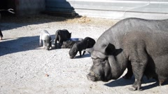 Thick family of pigs in a pen Stock Footage