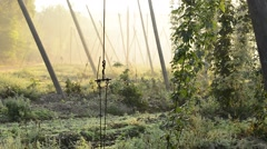 Hop field in the morning in the harvest time , zoom in Stock Footage
