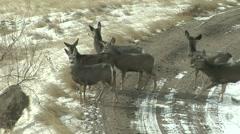 Mule Deer Herd Stock Footage