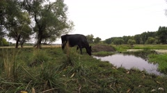 KCow Black-motley breed drinking water from the swamp meadow.orova 1.mp4 Stock Footage