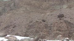 Snow Leopard feed on Blue Sheep in Ladakh in India 14 Stock Footage