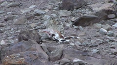 Snow Leopard feed on Blue Sheep in Ladakh in India 5 Stock Footage