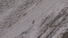 Snow Leopard in snowfall in Ladakh in India 1 Stock Footage