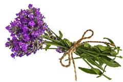 Bouquet of violet wild lavender flowers in dewdrops and tied with bow, isolat - stock photo