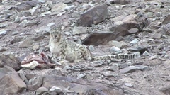 Snow Leopard laying by Blue Sheep pray and look around 4 Stock Footage