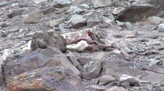 Snow Leopard resting beside Blue Sheep pray in Ladak in India 4 Stock Footage