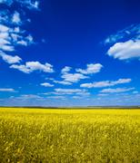 Field with oilseed rapeseed Stock Photos