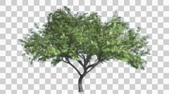 Stock Video Footage of Hook-Thorn Cromakey Senegalia Caffra Chroma Key Alfa Alfa Channel Tree Swaying