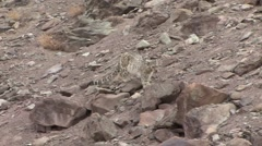 Snow Leopard walk to Blue Sheep carcass in Ladakh in India 3 Stock Footage