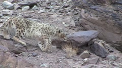 Snow Leopard walking in the mountains in Ladakh in India 2 Stock Footage