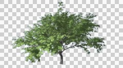 Hook-Thorn Cromakey Senegalia Caffra Chroma Key Alfa Alfa Channel Tree Swaying Stock Footage