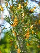 Evergreen pollination on fir tree Stock Photos