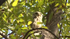 Spotted Owlet in tree in India 2 Stock Footage