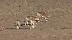 Urial herd feeding in Ladakh in India 2 Stock Footage