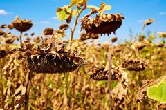 Ripe sunflower farm field. Harvesting. Autumn. Fall. Stock Photos