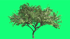 Hook-Thorn Cromakey Senegalia Caffra Chroma Key Alfa Green Background Tree - stock footage