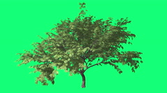 Hook-Thorn Cromakey Senegalia Caffra Chroma Key Alfa Green Background Tree Stock Footage