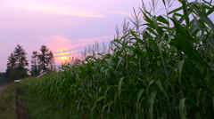 Tall Corn Fields with Farmhouse and Hazy Sunset in Background Stock Footage