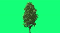 Cypress Oak Chromakey Green Tree Chroma Key Alfa Green Background Swaying at - stock footage