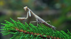 The one-armed mantis Stock Footage