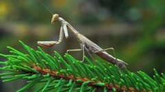 The one-armed mantis - stock footage