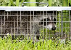 Raccoon caught in a live trap - stock photo