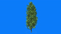 Cypress Oak Chromakey Green Tree Chroma Key Alfa Blue Background Thin Tall Tree Stock Footage