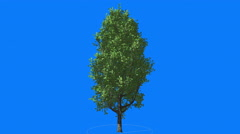 Stock Video Footage of Cypress Oak Chromakey Green Tree Chroma Key Alfa Blue Background Swaying at the