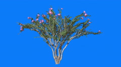 Crape Myrtle Cromakey Lagerstroemia Chroma Key Alfa Blue Background Tree Bush - stock footage