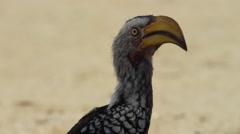 6K R3D - Yellow-billed Hornbill - close of head, flies away. Africa fly 4K uhd Stock Footage