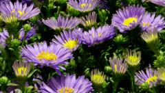 Purple Aster Flower Time-lapse Stock Footage
