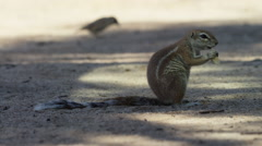 Cape Ground Squirrel - sitting up eating. Africa nature safari 4K uhd ultrahd Stock Footage