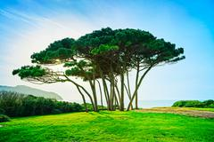 Maritime Pine tree group near sea and beach. Baratti, Tuscany. Stock Photos