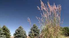Wind in the Pampas Grass - stock footage