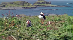 The arctic Puffin on a scottish island Stock Footage