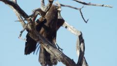 African Harrier-hawk - Juvenile on branch. Startled. Raptor bird 4K uhd ultrahd - stock footage