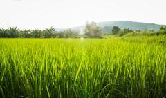 Rural rice field green grass Stock Photos