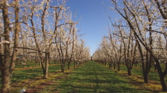 Flydown row of full bloom plum trees Stock Footage