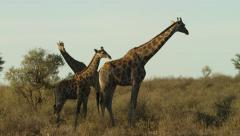 6K R3D - Giraffe - herd with baby. Africa animal mammal tall baby young 4K Stock Footage