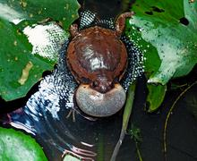bullfrog - stock photo