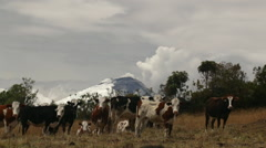 Cotopaxi Volcano in the Ecuadorian Andes erupting behind a herd of cows Stock Footage