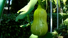 Green gourd Stock Footage