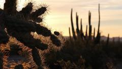 Organ Pipe Cactus to Cholla Cactus Stock Footage