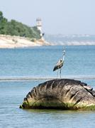 The grey heron standing on an automobile tyre cover on gulf water - stock photo