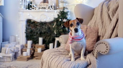 Dog sitting on armchair decorated Christmas interior Stock Footage