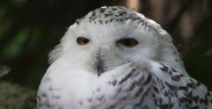 White owl with big yellow eyes Stock Footage