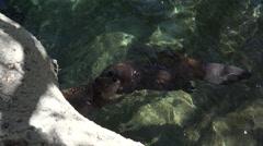 4K Two Beavers Clasp Front Paws Hug Dance Swim - stock footage
