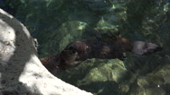 Stock Video Footage of 4K Two Beavers Clasp Front Paws Hug Dance Swim