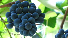Vine, approaching bunch of grapes from the top down Stock Footage